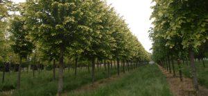 Aanplant 26 lindes langs de oude laan